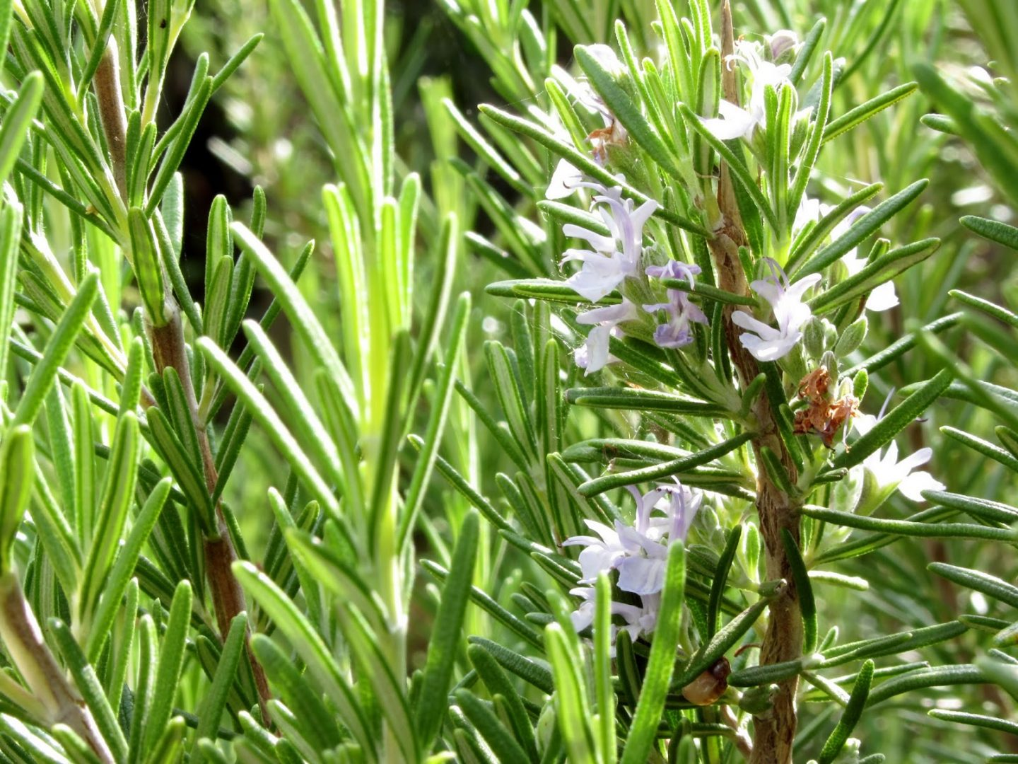 Homemade facial toner fresh rosemary